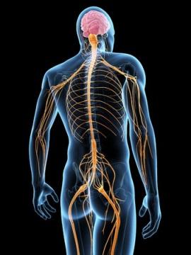 筋肉や内臓を支配する脳と神経
