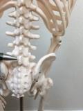 第5腰椎(腰の骨の5番目)