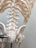 仙骨(骨盤の真ん中にある大きな骨)